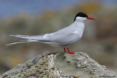 Tern (AMKs_Photos) Tags: nature animal canon photography eos scotland sailing fife may reserve tourist forth 7d isle tern pleasure anstruther cruises attraction firth amk visitscotland of amksphotos