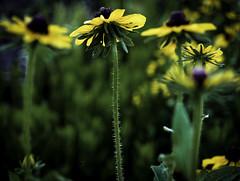 Fuzzy One (keith_shuley) Tags: flowers springflowers blackeyedsusan yelllow olympusomdem1