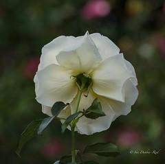 Shy rose (idunbarreid) Tags: rose doublefantasy