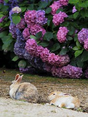 B6250604 (VANILLASKY0607) Tags: rabbit bunny bunnies nature animal japan photo wildlife wildanimal hydrangea rabbits rabbitisland wildrabbit okunoshima