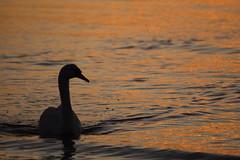 Coming back landwards (Tudor G.) Tags: blue autumn sunset de atardecer soleil swan coucher hour cygne apus schwann lebada