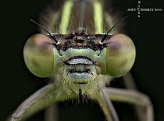 Damsel portrait s (John Chorley) Tags: portrait macro green nature closeup nikon bugs macros damselfly macrophotography 2016 nikkor105mmlens johnchorley