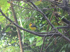 Collared Redstart (jewels1864) Tags: birds costarica monteverde collaredredstart myioborustorquatus