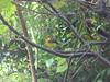 Collared Redstart (jewels1864) Tags: birds costarica monteverde collaredredstart myioborustorquatus