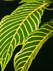 Striped Leaves (Stanley Zimny (Thank You for 20 Million views)) Tags: green nature leaves botanical stripes patterns leav