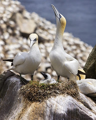 good perenting (BarryKelly) Tags: ireland bird rock next chick colony saltee ganet