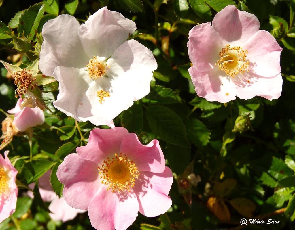 Águas Frias (Chaves) - ... flores silvestres ...