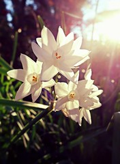Paper White Narcissus in Winter (Celeste33) Tags: winter white paperwhites narcissus