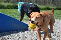 2016-05-07 10.21.17 (A Place for Paws) Tags: foster ap apap playday