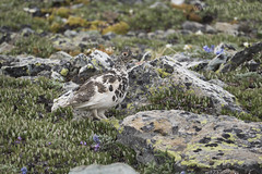 "White-tailed Ptarmigan • <a style=""font-size:0.8em;"" href=""http://www.flickr.com/photos/63501323@N07/28052461931/"" target=""_blank"">View on Flickr</a>"