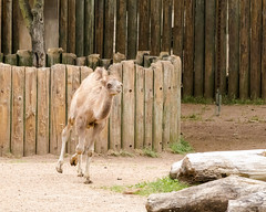 baby camel (Kenny C Photography) Tags: chicago animal zoo illinois camel lincolnparkzoo bactriancamel enjoyillinois