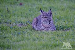 Resting Bobcat (fascinationwildlife) Tags: california wild usa nature field animal america cat mammal feline dusk wildlife natur central rufus valley elusive bobcat lynx luchs rotluchs
