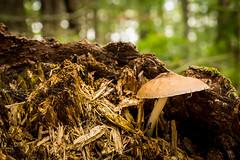 Rotten Stump Mushroom (.:: Nelepl ::.) Tags: mushroom fungi manitoba canada nature stump forest healisland lakewinnipeg sulfurtuft prairies hiking