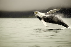 Iceland, Skjlfandi (Shaky) Bay (Epsilon68 - Street and Travel Photography) Tags: iceland is fuji fujix fujixt1 fujifilm travel skjlfandi shakbay whale