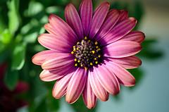 583 - Un cœur aux mille petites étoiles . (-Virtuelle-) Tags: flowers plant nature fleurs plante natureza perfectpetals weloveallflowers