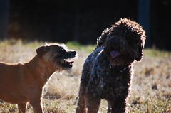 DSC_0080 (juliapee) Tags: dogs spring borderterrier dogsplaying lagotto romangolo