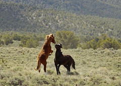 Feral Horse Stallions playing (Tatiana Gettelman) Tags: pictures wild horses horse nature animal animals mammal outdoors photo fight play image photos pics wildlife nevada rear picture pic images sage photographs photograph bite males northern mammals dominance feral equus hooves rearing