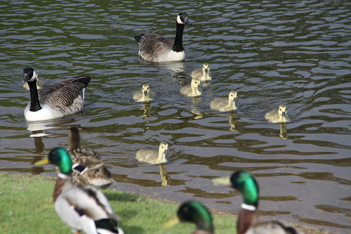 Pair of Canada Geese with 7 Goslings (4)
