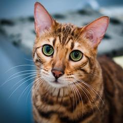 Die Katze (Z!KeepeR) Tags: cat leopard bengal
