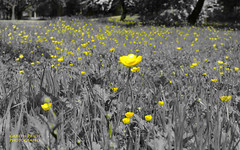 Outbreak (Gareth Priest) Tags: park uk flowers trees bw inspiration art nature grass yellow wales landscape outdoors spring nikon experimental creative cardiff butepark buttercups selectivecolour d5100