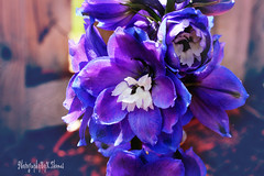Delphinium (thomask8) Tags: flowers flower macro nature floral garden outdoors photography spring bokeh delphinium blooming naturescenes simplyflowers mygardenschool