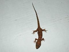 Gekkonidae>Heteronotia binoei Binoe's prickly gecko DSCF4711 (Bill & Mark Bell) Tags: exmouth westernaustralia australia geo:town=exmouth geo:state=westernaustralia geo:country=australia geo:lon=11425453egeolat2217752sgeoalt8m 11425453e2217752salt8m taxonomy:kingdom=animalia animalia taxonomy:phylum=chordata chordata taxonomy:class=reptilia reptilia taxonomy:order=squamata squamata taxonomy:suborder=sauria sauria taxonomy:family=gekkonidae gekkonidae taxonomy:genus=heteronotia heteronotia taxonomybinomialnameheteronotiabinoe heteronotiabinoei taxonomycommonnamebinoespricklygecko binoei animal fauna lizard