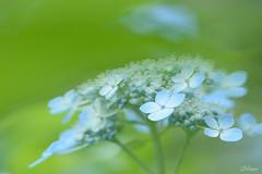 sky blue (miwa**) Tags: blue flower macro nikon hydrangea nikkor miwa d600 105mmf28dmicro 2013 nikond600