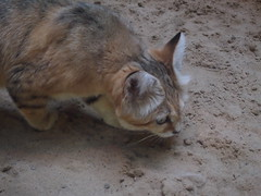 Prowling Sand Cat (jennygriffiths1) Tags: berlin cat zoo sand hunting prowling