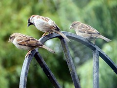 17th Jun 13 Sparrows watching cat from gate (Cardedfolderol) Tags: birds gate sparrow housesparrow gardenbirds