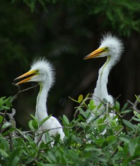 Great Egrets! (Samantha Evans of TSI Photography) Tags: trees plants white black green nature leaves birds yellow canon neck bill eyes dof zoom bokeh head branches beak feathers bushes egret fledgling greategret rookery shallowdepthoffield shallowdof alligatorfarm canon60d canon100300