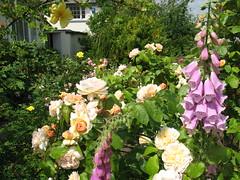 IMG_1369 (jrcollman) Tags: plants gardens places digitalispurpurea rplant dplant rosesweetjuliet christophers2baringcrescentexeter rosecanarybird rosefelicia