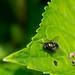 The Fly / Die Fliege