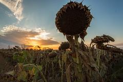 Sunflower Zombie (boingyman.) Tags: sunset sun flower nature field landscape dead zombie sunflower sacramento scape natomas keepyourheadup boingyman