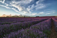Luscious Lavender [Explored] (TheGriefmeister) Tags: sunset canon lavender 7d tamron hertfordshire herts ickleford 1024mm hitchinlavender
