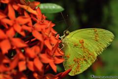 Verde Mariposa (Hector Silva Millan) Tags: red plant macro verde green planta animal butterfly photography photo rojo eyes nikon venezuela colores ojos contraste mariposa volador anzoategui d5100 hectorlsm