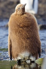 I will be right here waiting for you ... (proefdier) Tags: cruise bird birds flickr antarctica southgeorgia salisburyplain vogel 2012 kingpenguin aptenodytespatagonicus antarktis 50d vögel msbremen königspinguin südgeorgien