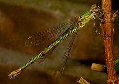 Wildlife in the garden: Willow Emerald Damselfly (Jdolky) Tags: bug dragonflies dragonfly wildlife insects bugs willow damselfly emerald damselflies insecten odonata libel zygoptera libellen waterjuffers houtpantserjuffer