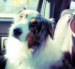 Cezanne Blue goes for a Car Ride (she wolf-) Tags: she blue our car loving by mom one this was photo eyes wolf photos many some canine can have his cw week while rides guest aussie visiting merle sweetest edit cezanne on hundreds herding sift doesnt australianshepherddog jeezi throughhope
