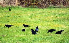 Ravens in Grass (Kojotisko) Tags: brno cc creativecommons czechrepublic fujifilmfinepix fujifilmfinepixsl1000 fujifilmfinepixsl1000kojotisko