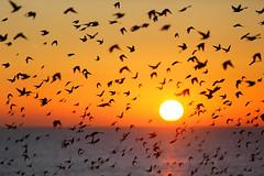 Starlings (Alan MacKenzie) Tags: sunset nature birds brighton wildlife starlings murmuration wildlifewednesday