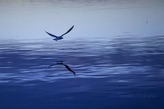 reflejo en azul (salvix.) Tags: