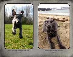 "FINAL Blue Weim 2014 calendar_Page_16 • <a style=""font-size:0.8em;"" href=""http://www.flickr.com/photos/109220014@N05/10955813944/"" target=""_blank"">View on Flickr</a>"