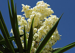 White Yucca Flowers! (Thanks Buzz!) ('cosmicgirl1960') Tags: travel flowers nature gardens spain holidays parks costadelsol andalusia marbella yabbadabbadoo worldflowers