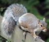 "The Chestnut Centre - squirrel <a style=""margin-left:10px; font-size:0.8em;"" href=""http://www.flickr.com/photos/78486882@N04/11995084053/"" target=""_blank"">@flickr</a>"