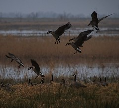 Nisqually NWR (DonHoupt) Tags: winter water birds animals geese washington spring nisqually