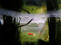 The Fish Under The Ice (Alex93vf) Tags: 3 fish black cold ice pond underwater sweden under hero edition gopro