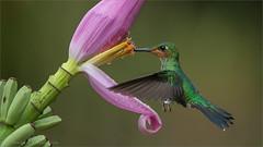 Magnificent Hummingbird (Raymond J Barlow) Tags: travel bird costarica hummingbird wildlife ngc adventure npc birdinflight raymondbarlowphototours