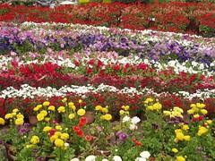 Mali_flowers