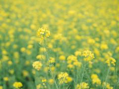 南台灣的油菜花 (SILENCE Vincent) Tags: leica flower bokeh taiwan olympus panasonic tainan 台南 omd tainancity 油菜花 em5 leicadgsummilux25mmf14 houbidistrict