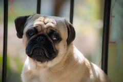 Presto 'The Pug' (Divyasom Malhan) Tags: dog pet nikon pug d3000 divyasom